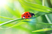 Ladybug on grass sunny day — Stock Photo