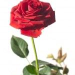 Yeşil dalı beyaz izole tek kırmızı gül çiçeği — Stok fotoğraf