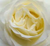 Single beautiful beige rose flower blossom extreme closeup — Stock Photo
