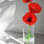 Постер, плакат: Three poppies