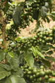 Coffee plants to mature. Quimbaya, Colombia — Stock Photo