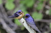 Young Barn swallows — Stock Photo