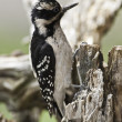 Downy Woodpecker (Female) — Stock Photo