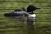 Loon and two Babies — Stock Photo
