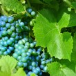 Merlot Grapes - Stock Photo