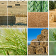 Wheat and barley. - Stok fotoğraf