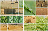 Barley and wheat. — Stock Photo
