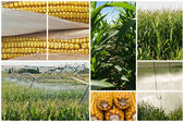 Maize. — Stock Photo