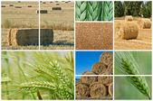 Wheat and barley. — Stock Photo