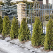 Stock Photo: Seven saplings of Thuja