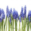 "Stock Photo: Border from first springs flowers "" Muscari"""