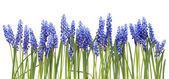 "Border from first springs flowers "" Muscari"" — Stock Photo"