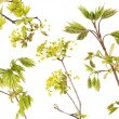 Blossoming maple tree branches set — Stock Photo #6366744