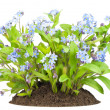 "Stock Photo: ""Forget-me-nots"" flowers bush on bed"