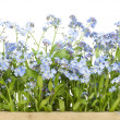 Stock Photo: Border from Forget-me-nots (Myosotis)