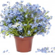 Stock Photo: Big bouquet from Forget-me-nots (Myosotis)