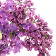 Purple  lilac macro - Stock Photo