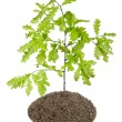 Sprout of the European oak tree - Stock Photo