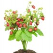 Bush of strawberry in soil isolated — Stock Photo #6367492