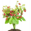 Bush of strawberry in soil isolated — Stock Photo