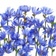 Wild blue cornflower background — Stock Photo