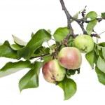 Real verde mele su un ramo con foglie — Foto Stock #6367602
