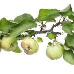 Real verde mele su un ramo con foglie — Foto Stock #6367720
