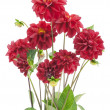 Stock Photo: Bush of darkly red dahlias