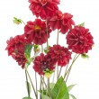 Bush of darkly red dahlias - Stock Photo