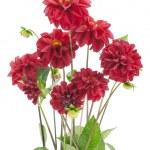 Bush of darkly red dahlias — Stock Photo
