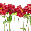 Stock Photo: Border from darkly red dahlias