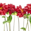 Border from darkly red dahlias — Stock Photo