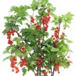 Red currant bush isolated — Stock Photo