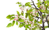 Spring apple-tree with pink buds — Stock Photo