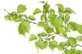 Branch of filbert (Corylus) bush — Foto de Stock
