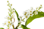 "Blossoming spring European ""Bird cherry"" tree — Stock Photo"
