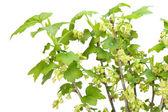 цветущие изолированных черной смородины — Стоковое фото