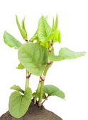 Ornamental garden plant — Stock Photo