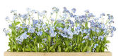 Border from Forget-me-nots (Myosotis) — Stock Photo