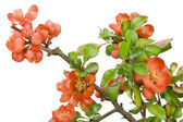 Blossoming Japanese quince (Chaenomeles) macro — Stock Photo
