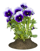 Small bush of dark-violet Pansies on a bed — Stock Photo