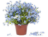 Big bouquet from Forget-me-nots (Myosotis) — Stock Photo