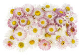 Medallion from real spring pink daisies — Stock Photo