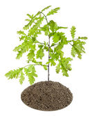 Sprout of the European oak tree — Stock Photo
