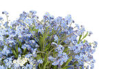 Forget-me-nots (Myosotis) plant postcard — Stock Photo