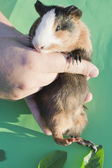 Pet cavy on hands in a sunlight — Stock Photo