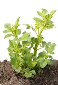 Young sapling, sprout a garden dahlia — Stock Photo