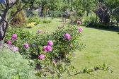 Il cespuglio di peonie rosa cresce in un giardino decorativo — Foto Stock
