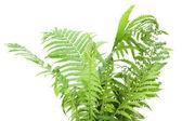 Wild fern bush isolated — Stock Photo