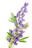 Violet kleine lupine — Stockfoto
